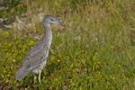 Thumbnail Yellow-crowned Night Heron Nycticorax violaceus, young animal, Florida