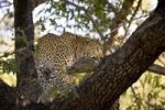 Thumbnail Leopard Panthera pardus on a tree, Moremi National Park, Botswana, Africa