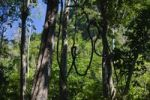 Thumbnail Rainforest, lianas, Havelock Island, Andaman Islands, India, South Asia