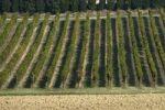 Thumbnail Vineyard, Marche, Italy, Europe