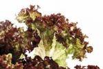Thumbnail Lollo rosso salad