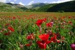 Thumbnail Field of poppies in front of Castel del Monte, Abruzzo, Italy, Europe
