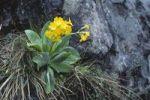 Thumbnail Auricula or Bears ear Primula auricula, North Tirol, Austria, Europe