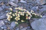 Thumbnail Glacier Crowfoot or Glacier Buttercup Ranunculus glacialis, National Park Hohe Tauern, East Tirol, Austria, Europe