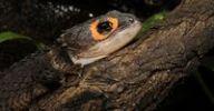 Thumbnail Crocodile Skink Tribolonotus gracilis, New Guinea
