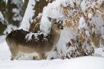 Thumbnail Fallow Deer Dama dama in the snow