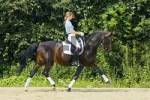 Thumbnail Young dressage rider on back of German horse in trot
