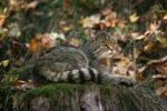 Thumbnail Wildcat Felis silvestris resting on the stump of a tree