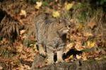 Thumbnail Wildcat Felis silvestris