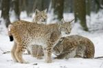 Thumbnail Eurasian Lynxes Lynx lynx in the snow, Bavaria, Germany, Europe