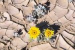 Thumbnail Blooming yellow flowers in the dessicated desert soil, Namibia, Africa