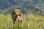 Thumbnail Red Fox Vulpes vulpes on a meadow, Italy, Europe