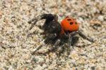 Thumbnail Velvet Spider Eresus cinnaberinus, male, on sand, Peloponnese, Greece, Europe