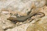 Thumbnail Lizard Lacertidae, Peloponnese, Greece, Europe
