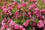 Thumbnail Glorious roses