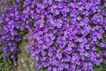 Thumbnail Blossoming Rock Cress Aubrieta cultorum, bush for rock garden, stone wall