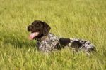 Thumbnail German Wirehaired Pointer, hunting dog