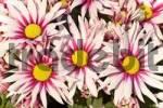 Thumbnail Blooming chrysanthemum