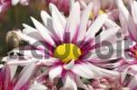 Thumbnail Blooming chrysanthemum