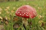 Thumbnail Fly agaric Amanita muscaria, poisonous mushroom