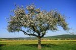 Thumbnail Apple tree in bloom in front of the apple village Wehrheim, Taunus, Hesse, Germany, Europe