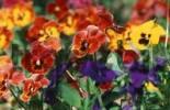 Thumbnail Pansies Viola hybrida