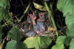 Thumbnail Blackcap Sylvia atricapilla, chicks begging for food in their nest