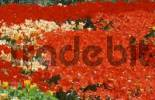 Thumbnail Bed of Tulips