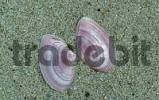 Thumbnail Shells of Thin Tellin, Texel, Netherlands Tellina tenuis