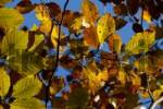 Thumbnail Leaves of beech Fagus sylvatica at the tree in autumn Bavarian Alps Upper Bavaria Germany