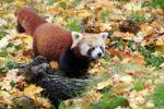 Thumbnail Red Panda, Firefox, Fire Cat, Fat Fox or Lesser Panda Ailurus fulgens