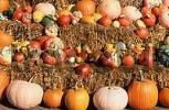 Thumbnail Pumpkins Cucurbita pepo