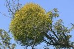 Thumbnail European Mistletoe or Common Mistletoe Viscum album, hardwood mistletoe on an apple tree