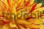 Thumbnail Semicactus Dahlia Dahlia x cultorum