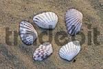 Thumbnail Brad-ripped Cardita Clam shells Carditamera floridana