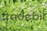 Thumbnail Beech leaves in spring, North Rhine-Westphalia, Germany Fagus sylvatica