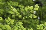 Thumbnail Beech leaves in spring, North Rhine-Westphalia, Germany Fagus sylvatica