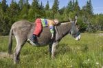 Thumbnail Young girl lying on a donkey, donkey hike in the Cevennes, France, Europe