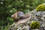 Thumbnail Burgundy Snail Helix pomatia, Cevennes National Park, France, Europe