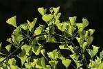 Thumbnail Maidenhair Tree leaves Ginkgo biloba