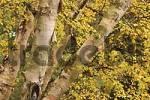 Thumbnail Paper Birch Betula papyrifera