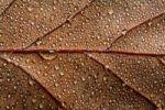 Thumbnail Dewy autumnal leaf, brachiated leaf-veins