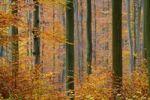 Thumbnail Autumnal Beech forest Fagus silvatica