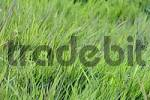 Thumbnail Blades of Grass