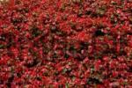 Thumbnail Bedding Begonia Begonia-semperflorens-Hybride