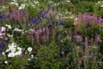 Thumbnail Bed of flowers with Cosmea, Anise Hyssop, Black Cumin and Painted Sage Cosmos bipinnatus, Agastache foeniculum, Nigella damascena, Salvia viridis, Salvia horminum
