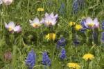 Thumbnail Flower meadow with Wild Tulip, Grape Hyacinth and Dandelion Tulipa kaufmanniana hybride, Muscari latifolium, Taraxacum officinale