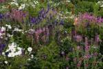 Thumbnail Bed of flowers with Cosmea, Musk Mallow, Black Cumin and Painted Sage Cosmos bipinnatus, Malva moschata alba , Nigella damascena, Salvia viridis, Salvia horminum