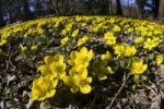 Thumbnail Winter Aconite Eranthis hyemalis, Bavaria, Germany, Europe