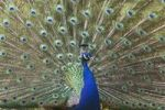 Thumbnail Indian Peafowl Pavo cristatus, male, displaying plumage